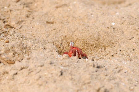 fiddler:  A lonely Fiddler crab defending its terittory