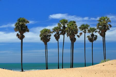 Rows of palm trees along the coast of Indian ocean photo