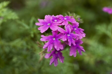 drought    resistant plant: Brighly bloomes Verbena flower isolated on green Stock Photo