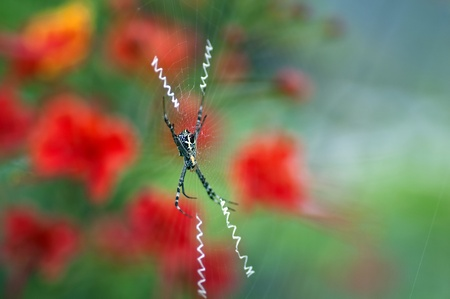 closeup shot of a signature spider with the web Stock Photo - 10629737