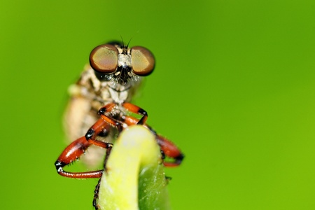 hairy legs: A robber fly perching on a green leaf