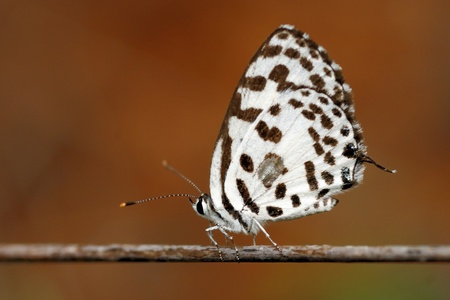 pierrot: a common pierrot butterfly perching on a dry twig