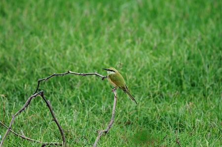 A juvenile bee eater in southern india photo
