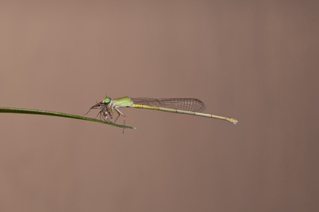 zygoptera: a green damselfly eating an isect for breakfast Stock Photo