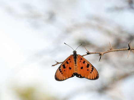 Mariposa, montaña Tawny posarse en una rama de árbol Foto de archivo - 11382842