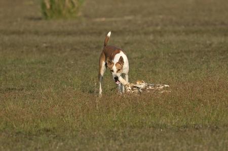 india food: A stray wild dog savoring on a bone