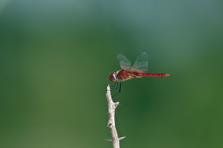 A red dragon fly perching on a twig photo