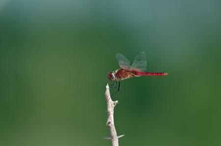 vulgatum: A red dragon fly perching on a twig