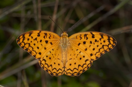 Common Leopard butterfly perching with wings open Фото со стока