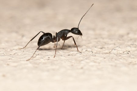 entomology: Carpenter ant isolated on white background. This ant is a major pest on houses
