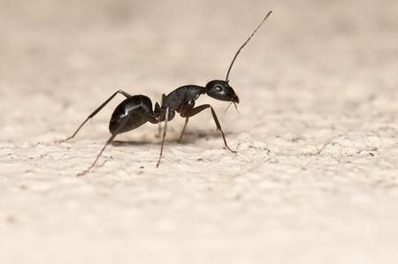 ant: Carpenter hormigas aisladas sobre fondo blanco. Esta hormiga es una plaga importante en las casas