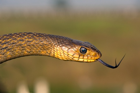A rat snake isolated against a natural background