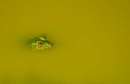 webbed legs: Indian pond frog peeping its head out Stock Photo