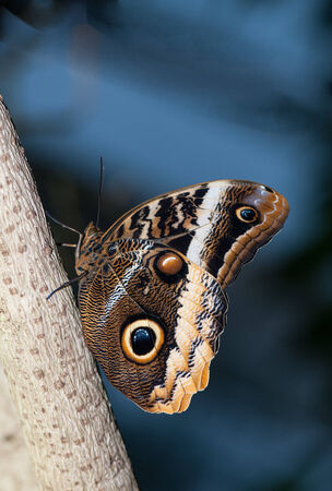 eyespot: A beautirful owl butterfly perching on the tree trunk Stock Photo