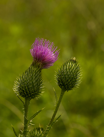 thistle: pink milk thistle flower in bloom in spring