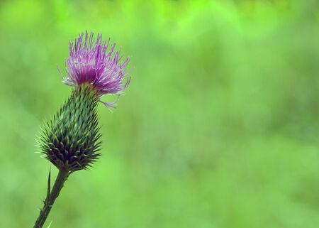 plantas medicinales: flor rosada del cardo mariano en flor en primavera
