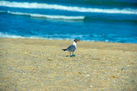 black headed: a black headed gull at a local beach