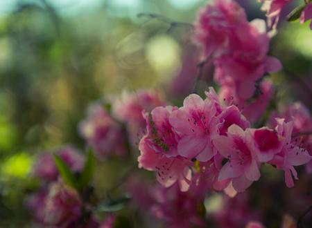 A japanese camellia flower in full bloom in spring