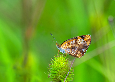 silvery: A closer photo of Silvery Checkerspot butterfly Stock Photo