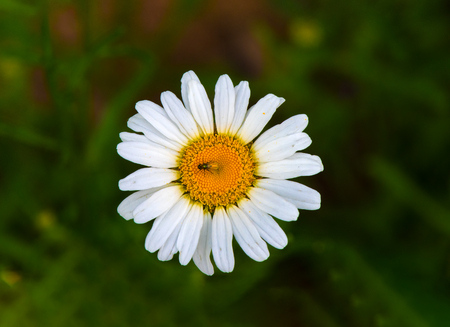 cary: a fly resting ona  wild daisy flower Stock Photo