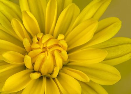 Close up photo of a yellow mum flower