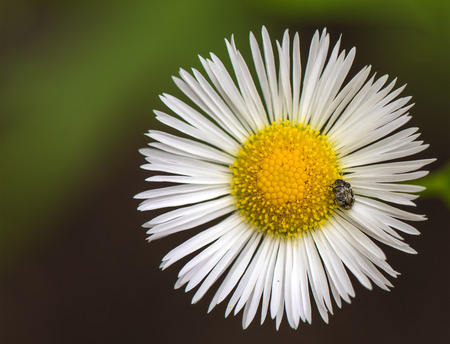 a beetle on the white daisy flower