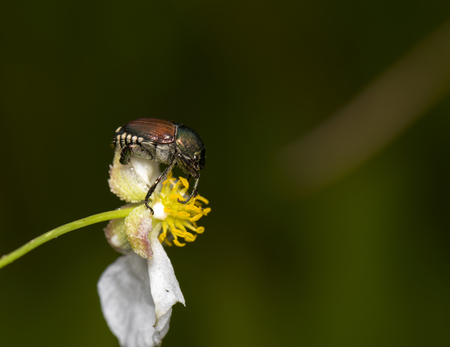 male animal: A japanese beetle perching on a flower