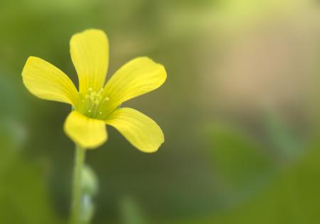 woodsorrel: Common Yellow Wood-sorrel (Oxalis stricta) in full bloom  Stock Photo