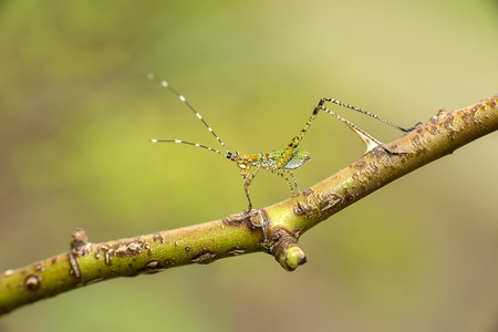 An immature katydid nymph on a grass