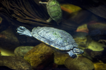 A sea turtle swimming at an aquarium Imagens