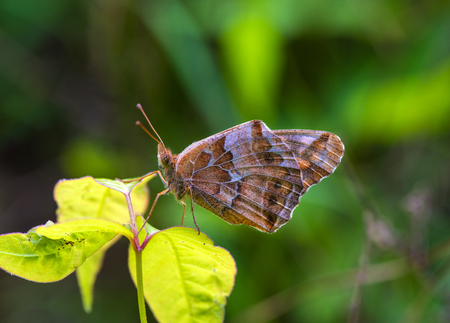 A beautiful Variegated Fritillary butterfly perching on a leaf Imagens