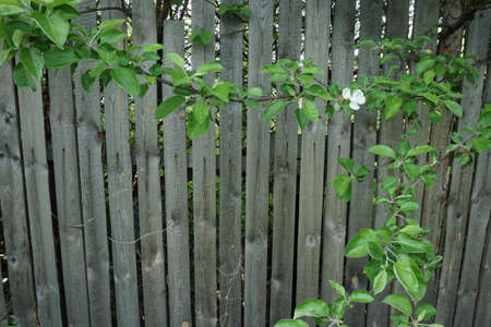 hobnail: green leaves and white flover on the garden fence