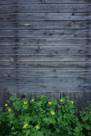 hobnail: wooden wall background with yellow buttercup flowers