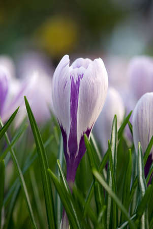 crocus flower photo