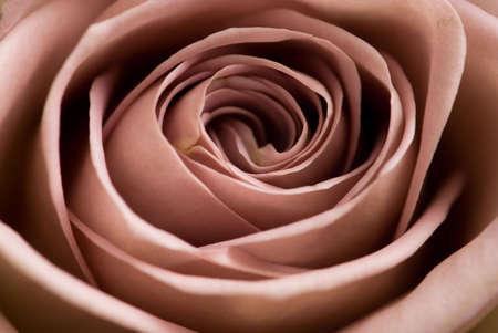 rosa Banco de Imagens