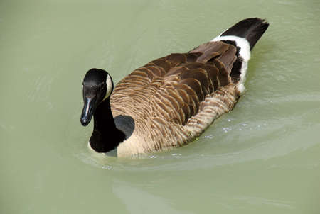 Duck on water photo