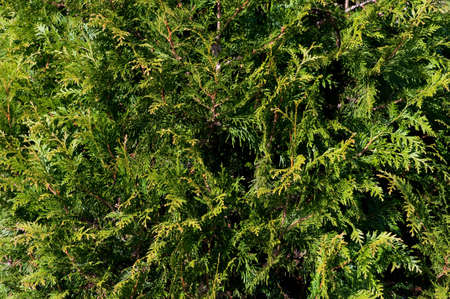 Thuja branches background photo