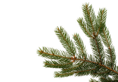 spruce tree: Fir tree branch on a white background. Close up. Christmas decoration.