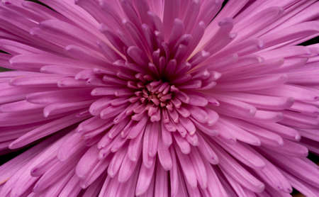 flowers close up: Close-up of chrysanthemum Stock Photo