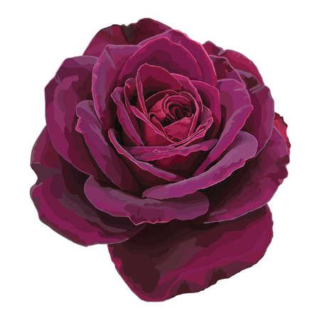 страсть: Фиолетовая роза, изолированных на белом фоне Иллюстрация