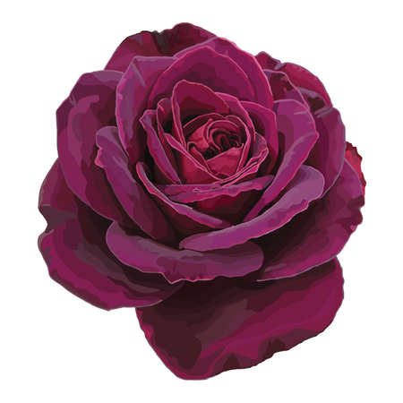 Purple rose isolated on a white background Vector