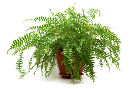 fern: fern in a brown pot isolated on white background