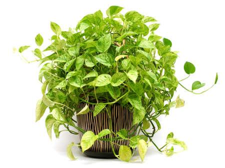 Isolated green plant in Pottery vase, fresh pothos. Фото со стока