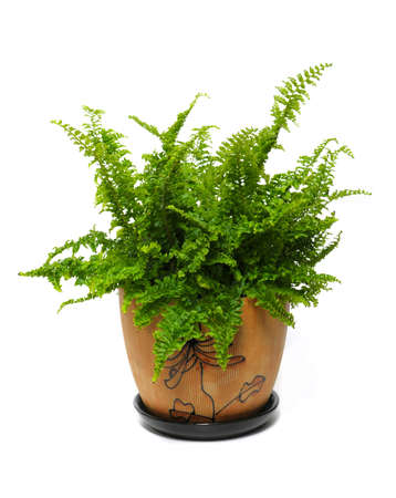 brake fern: fern in a brown pot isolated on white background