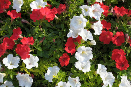 Colorful petunia flowers close up photo