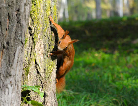 Red squirrel sitting on the tree photo
