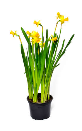 Pot of Narcissus on a white background photo