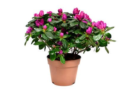 Florescer planta de azal