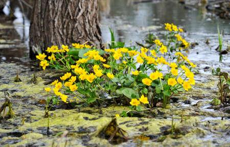 palustris: Kingcup or Marsh Marigold  Caltha palustris  Stock Photo