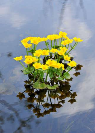 inundated: Kingcup or Marsh Marigold  Caltha palustris  Stock Photo